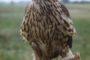 Młody ptak sokolniczy w pierwszym piórze na rękawicy.
