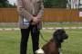Najpi?kniejszy Pies Wystawy posokowiec hanowerski AMICI z Kaszubskich Piachów