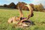 Odstrzał samców w zagrodzie planuje się tylko w starszych klasach wieku. Większość ze strzelanych tam 40 danieli i 12 jeleni to osobniki medalowe