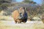 Nie ma wątpliwości, że za chwilę zostanie wprowadzony zakaz polowań na nosorożce, lwy i lamparty. Z Wielkiej Piątki pozostaną tylko bawoły, gdyż świetnie dają się hodować na farmach