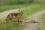 Fundacja Ochrony Głuszca od dwóch lat prowadzi akcję ochrony zwierzyny drobnej w okręgu piotrkowskim