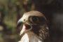 """Na zdjęciu sokół wędrowny w pierwszym roku życia. Jak każdy młody ptak sokolniczy musi się nauczyć polowania i współpracy z sokolnikiem. W gwarze sokolniczej """"ćwikiem"""" nazywany jest doświadczony ptak."""