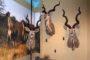 Medaliony antylop kudu w sali wystawowej Muzeum Łowiectwa i Jeździectwa w Warszawie