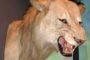 Lew, to gatunek ssaka lądowego z rodziny kotowatych, drugi po tygrysie – co do wielkości – wśród czterech ryczących wielkich kotów