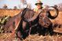 Wspaniały bawół afrykański - niezwykle groŸny i niebezpieczny w przypadku postrzelenia
