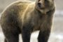 """W 2013 roku na """"Ochronę niedźwiedzia brunatnego w Polsce"""" WWF Polska otrzymała ponad 1 mln zł dotacji – czterem niedźwiedziom założono obroże telemetryczne, przycięto 2500 drzew i przekazano 25 kompletów pastuchów elektrycznych właścicielom pasiek, fundacja przygotowała również aplikację internetową, w której odnotowano ponad 300 obserwacji niedźwiedzi"""